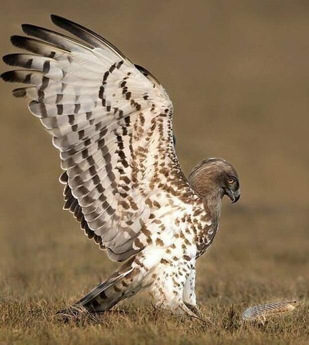 Хищная птица и крысиная змея сражались несколько секунд Тамилнад, животные, змея, индия, орел, схватка, хищник