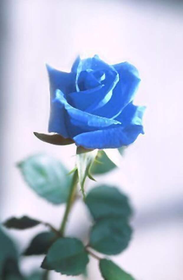 Эти розы