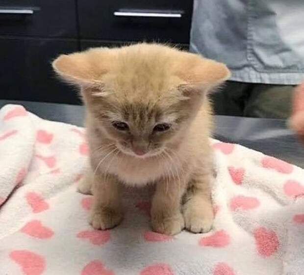 Котенок на осмотре
