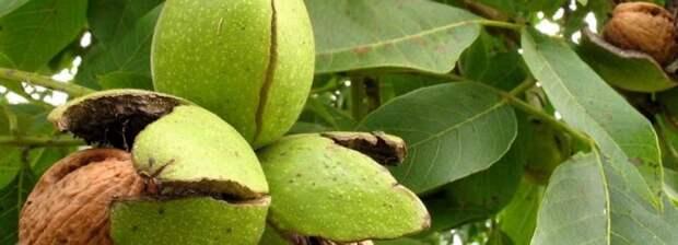Грецкий орех: полезное растение в вашем саду