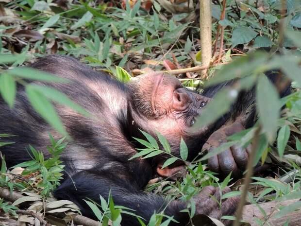 Можно ли превратить шимпанзе в человека и если да, то как?