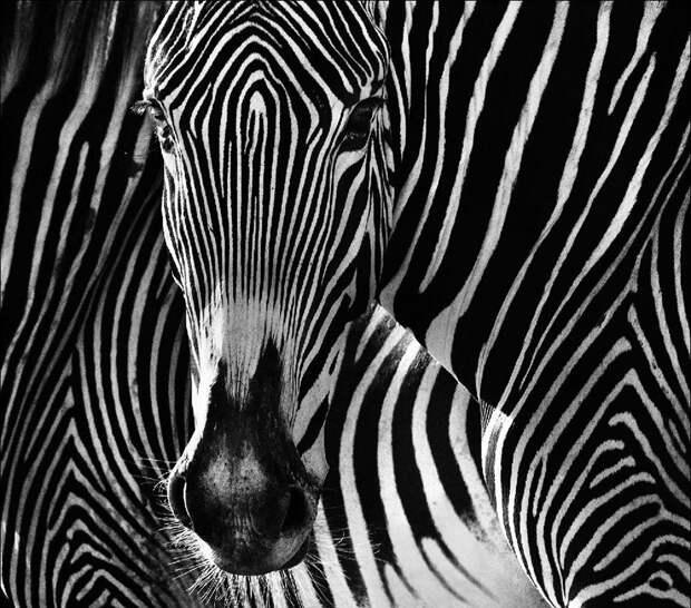 Взгляд зебры