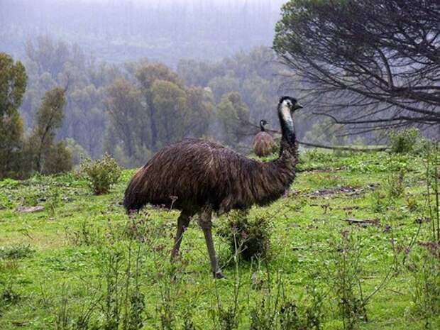 Страус-Эму-птица-Описание-и-образ-жизни-австралийского-эму-3