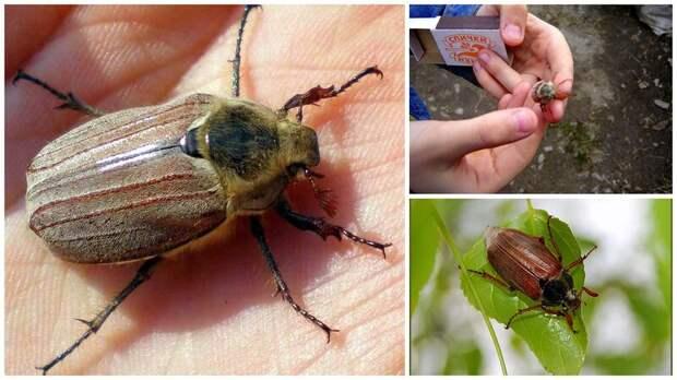 Куда же улетели майские жуки?!