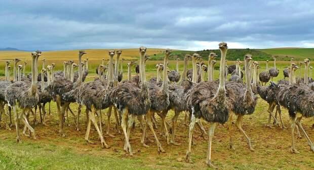 Топ-10 интересных фактов о страусах