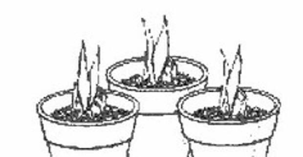 Размножение сансевиерии листовыми черенками