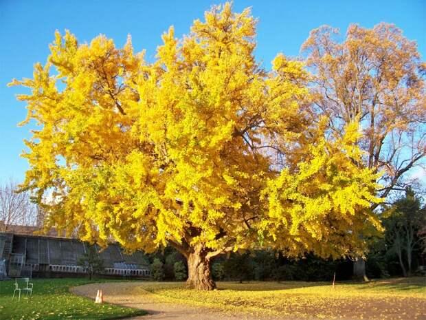 Гинко - дерево со сперматозоидами и вонючими плодами, которое пришло к нам из прошлого