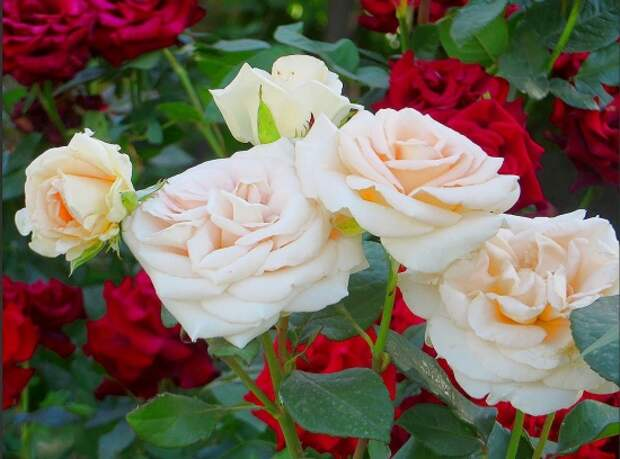 розы фото 170320 – 07