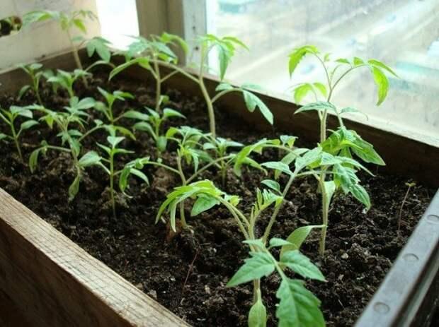Как вырастить вкусные и полезные томаты у себя на подоконнике