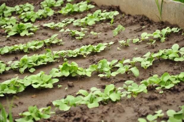 принципы выращивания редиса