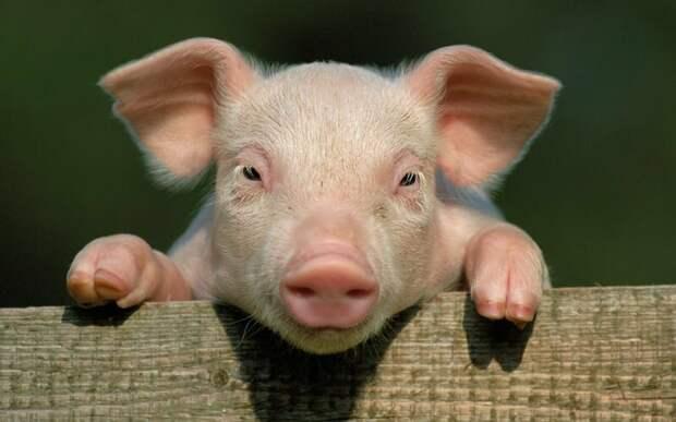 Если мама и папа – «свиньи», есть ли шанс у ребенка вырасти кем-то другим?