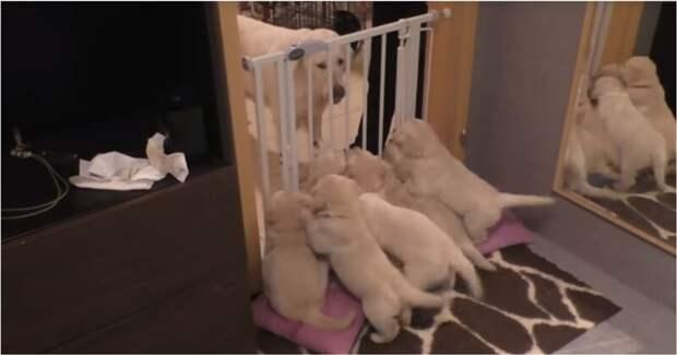Как опытная собака-мама приучает свое голодное потомство к дисциплине видео, животные, интересно, мама, мать, реакция, собака, щенки