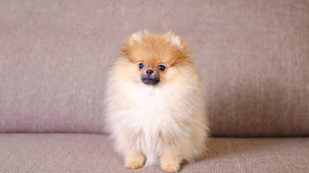 Созданы для объятий: пять самых пушистых пород собак