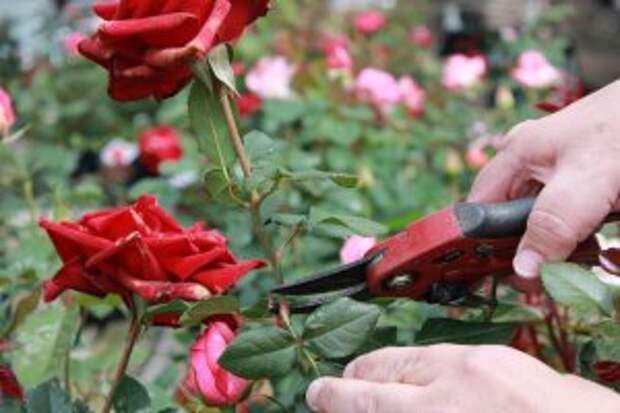 Хранение срезанных роз: секреты красивых букетов
