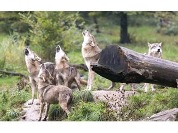 Как волки успокаивают дебоширов в стае
