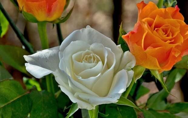 розы фото 170320 – 01