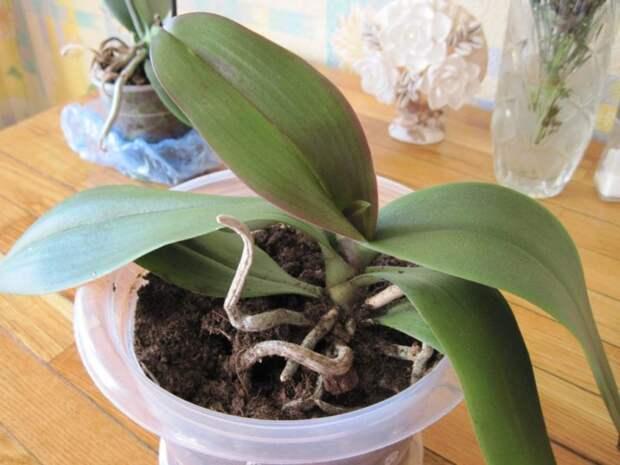 Орхидея даёт мало цветов? Подкормите простым аптечным йодом