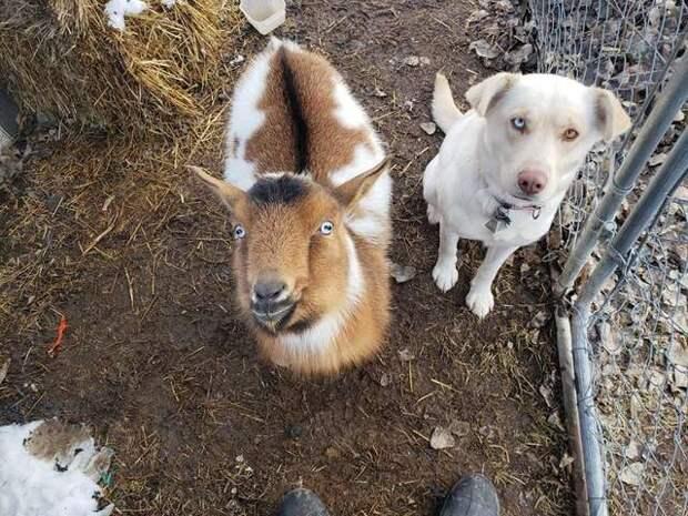 коза с собакой