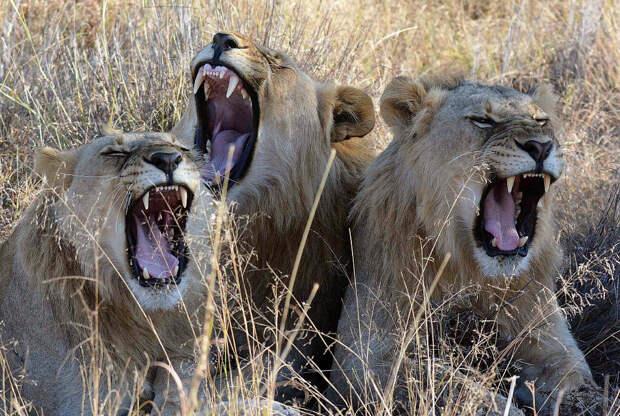 Львы отдыхают в заповеднике Мадикве, Южная Африка