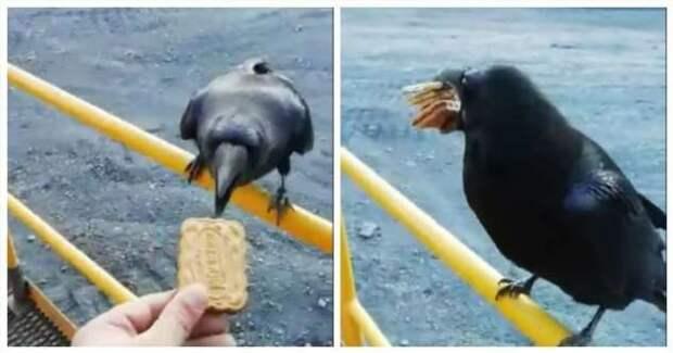 Вороне как-то Бог послал кусок печенья (1 фото + 1 видео)
