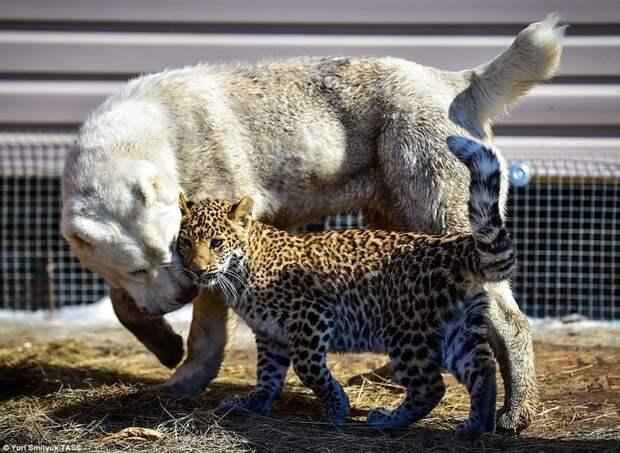 В зоопарке Владивостока детеныш леопарда подружился с овчаркой ynews, владивосток, детеныш, дружба животных, животные, зоопарк, леопард, собака и кот