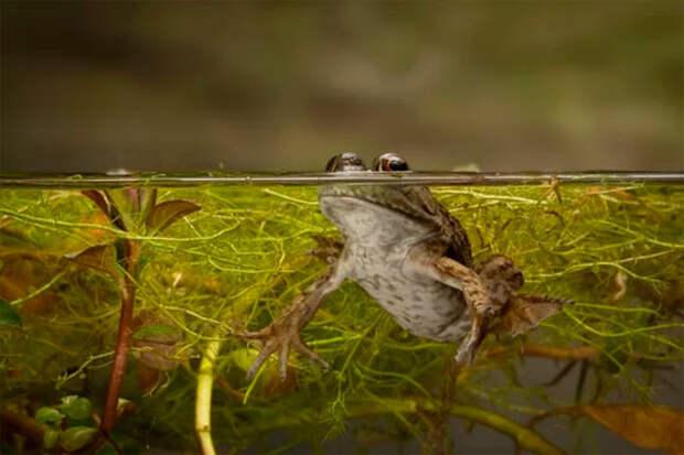 Молодая крикливая лягушка (Rana sphenocephala) выглядывает из воды / Michael Durham