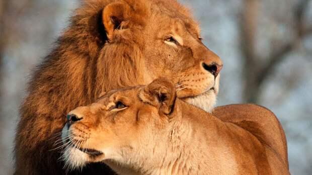 Лев и львица выглядят по-разному