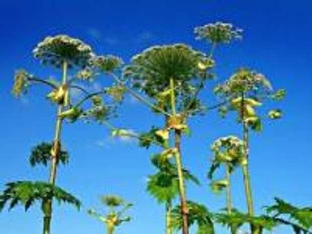 Борщевик Мантегацци: как растение из России стало бедой Западной Европы