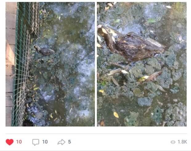 В сквере по Олонецкому проезду погибли утки