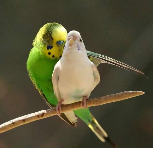 Забавный брачный танец попугая