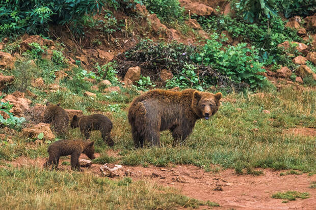 На Камчатке готовящиеся к спячке медведи заселили лавовые острова