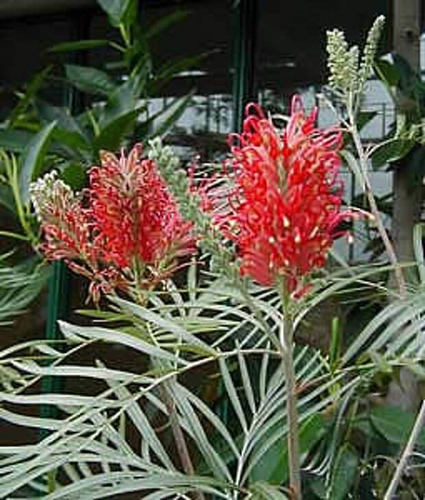 http://house-flora.ru/wp-content/uploads/2012/11/Grevilleya-Grevillea.jpg