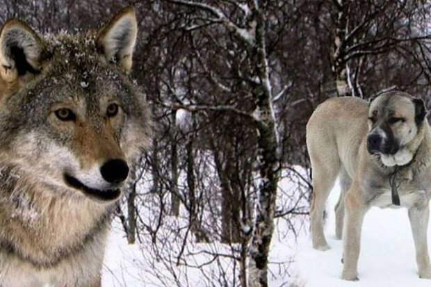 5 мощных собак, способных одолеть даже волка