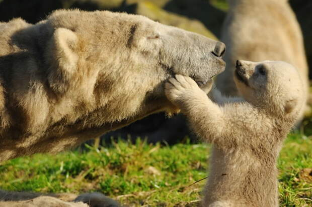 Если ты мамаша-медведица