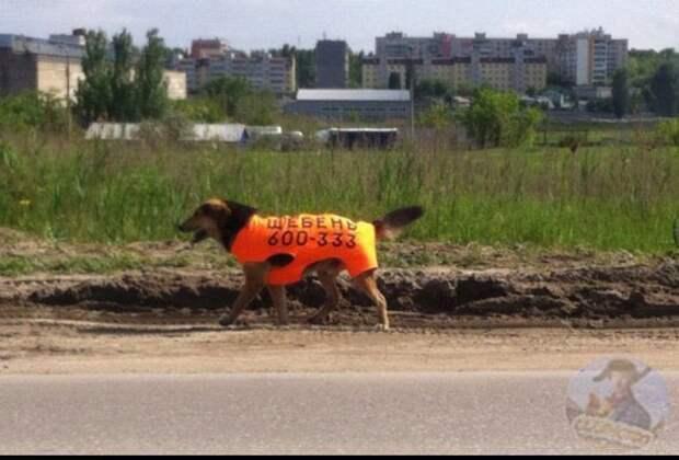 Ходячая реклама домашние животные, животные, кошка, прикол, свинья, собака, юмор