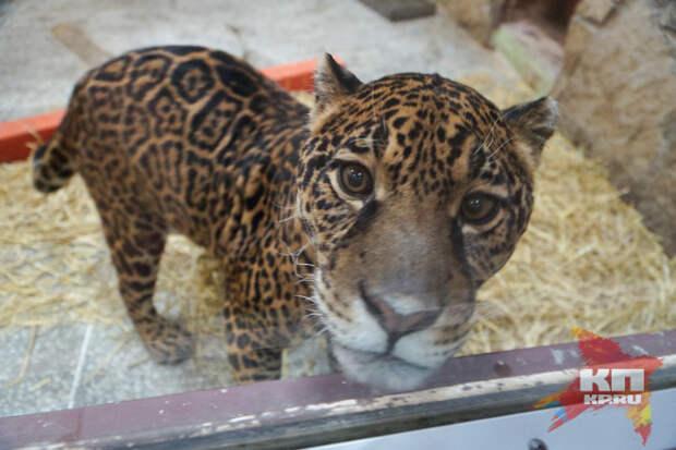 У ягуара в зоопарке Екатеринбурга появилась красавица-подружка