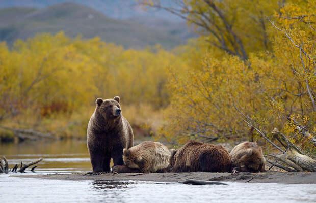 Сонные медвежата