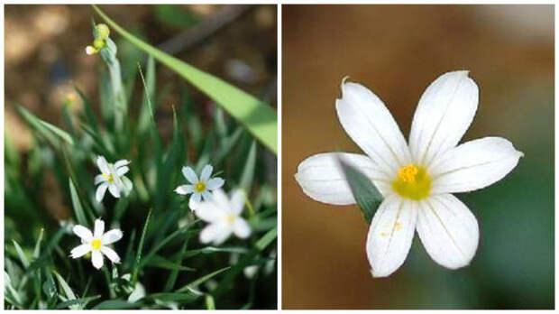 Сисиринхий сорт Nort Star, общий вид и цветок крупным планом, оба фото сайта www.seedsman.jp