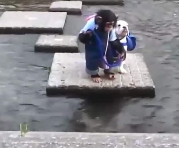 Вот как собака и обезьяна форсируют реку! Это очень забавно!