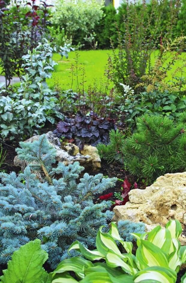 Хвойные растения прекрасно уживаются с хостами и гейхерами