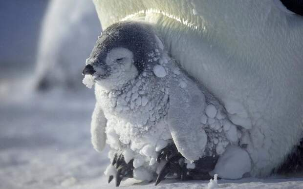 Императорский пингвинчик греется в ногах у мамы