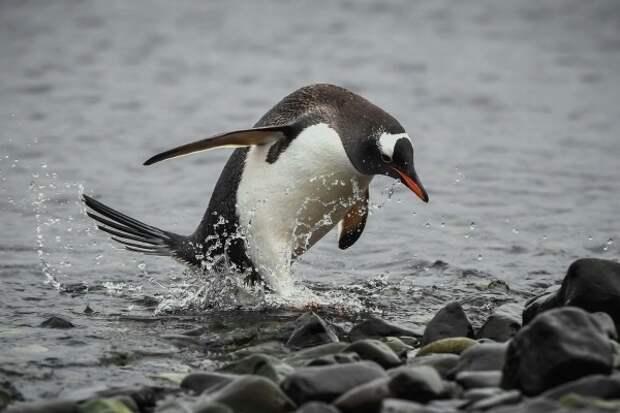 Кусто предсказал скорое исчезновение пингвинов в Антарктиде