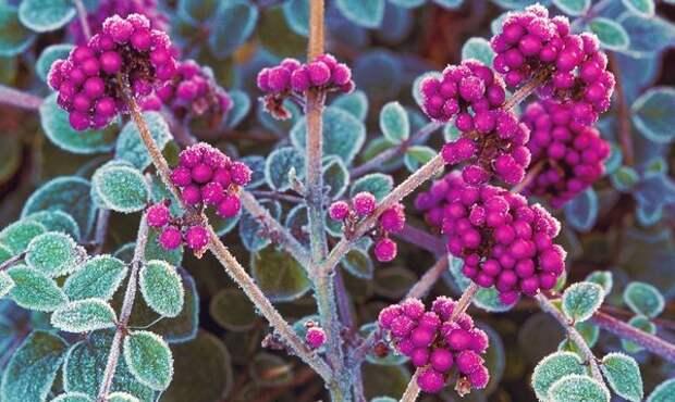 Ягоды красивоплодника с листьями снежноягодника