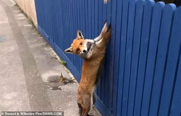 Рыжую пленницу, застрявшую лапами в заборе, рано утром обнаружил владелец дома. История произошла в городе Борнмут, графство Дорсет, Англия. дикие животные, животные, истории, лиса, лисица, помощь животным, спасение животных, фото