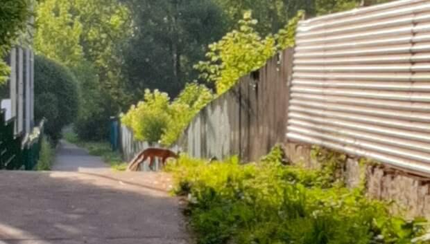 Лиса появилась в частном секторе микрорайона Климовск Подольска