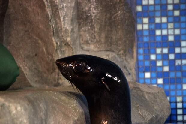 Морской котик из Ижевска перебрался в нижегородский зоопарк