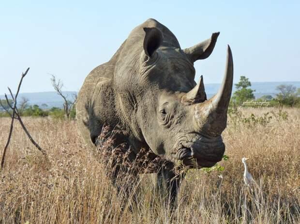 Носорог, фото