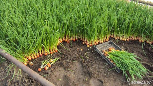 Как правильно обработать и посадить лук весной