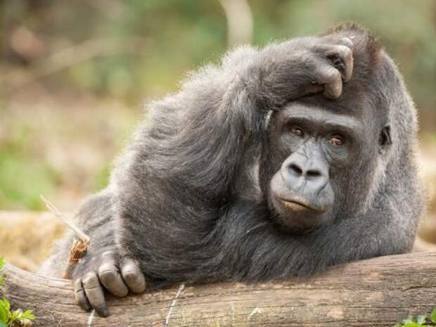 Оказалось, что обезьяны обладают «теорией разума»