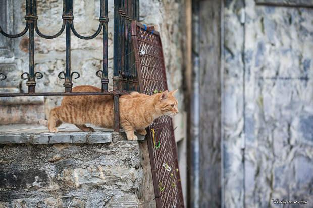Черногорские коты